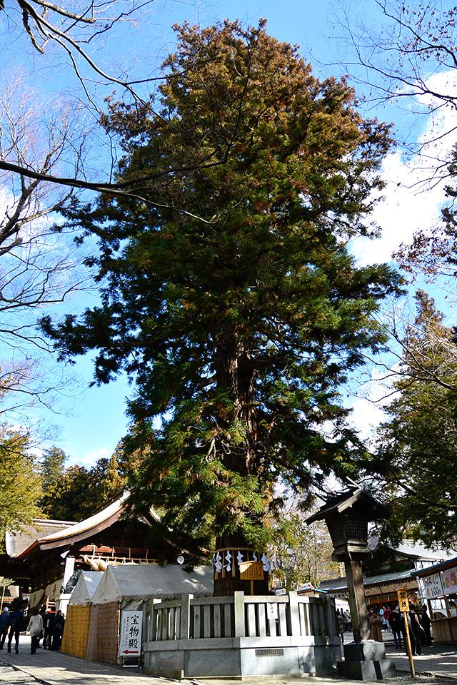 諏訪大社・下社秋宮の根入りの杉