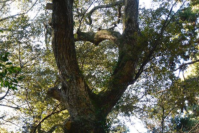 鹿島神宮・奥参道のハートの樹